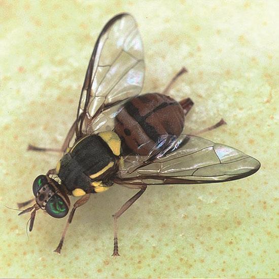 1-成虫の写真(出典:農林水産省植物防疫所ホームページ)